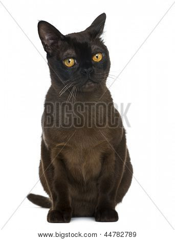 Bombay cat sitting and looking away, isolated on white