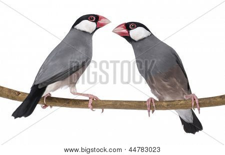 Two Java Sparrow perched on a branch- Padda oryzivora - isolated on white