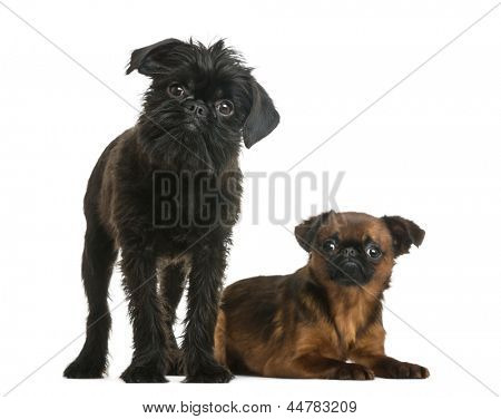 Petit Brabancon lying next to a Griffon Bruxellois looking at the camera, isolated on white