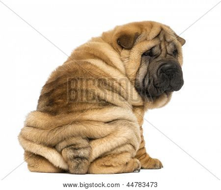 Back view of a Shar pei puppy sitting and looking at the camera (11 weeks old) isolated on white