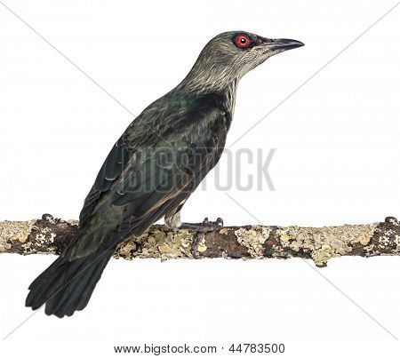 Juvenile Metallic Starling - Aplonis metallica - Isolated on white