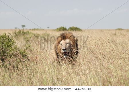 Lions In Masai Mara Savannah, Kenya