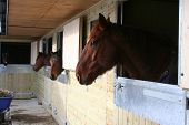 image of stable horse  - Horses in several stables peering through waiting for feed - JPG