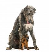 Scottish Deerhound sitting over a Petit Brabancon, isolated on white