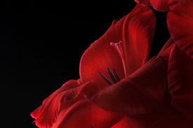 stock photo of gladiola  - Close up of a red gladiolus  - JPG