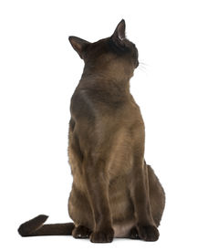 pic of american bombay  - Bombay cat sitting and looking backwards - JPG