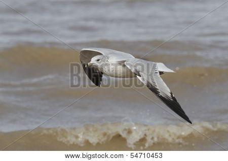 Ring-billed Gull Flying Over Waves