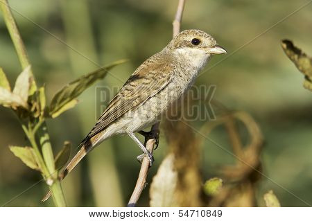 Red-backed Shrike (Lanius collurio) on branch, immature