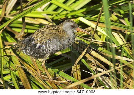 Water rail in natural habitat / Rallus aquaticus