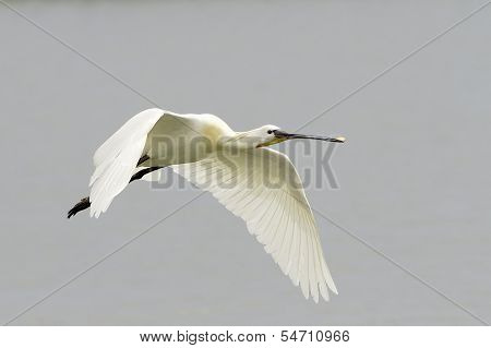 Common Spoonbill in flight - Platalea leucorodia