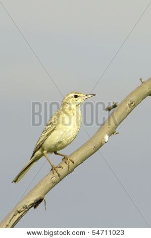 tawny pipit in natural habitat (Anthus campestris)