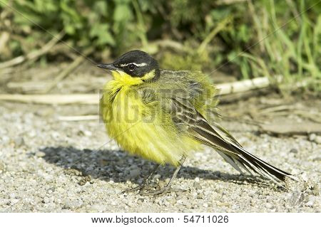 A male of Yellow Wagtail (Motacilla flava superciliata)
