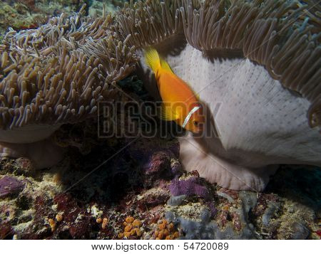 Maldives Anemone Fish