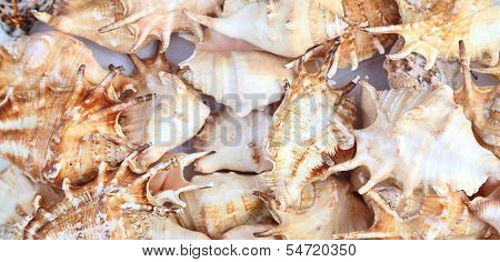 Many shells of rapana. Close-up. Background.