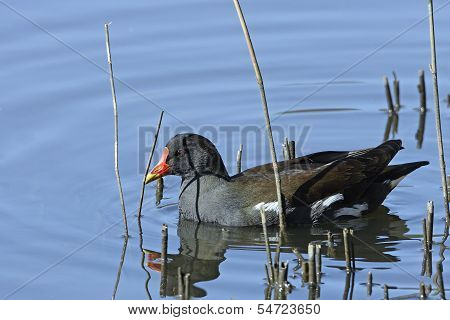A Moorhen (Gallinula chloropus) swimming amongst reeds.