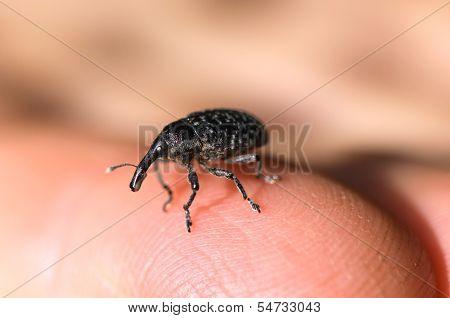 5_stock_small Elephant Beetle.jpg