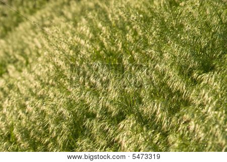 Brome Grass Background