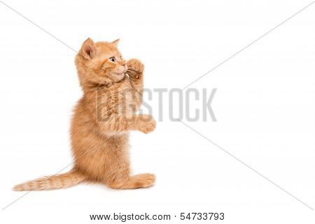 Red kitten standing playing
