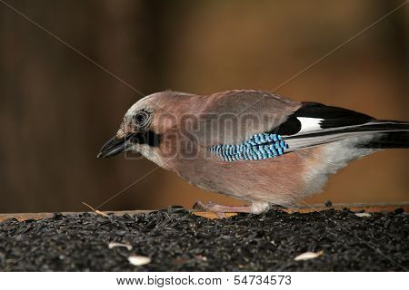 Jay At Feeding Station