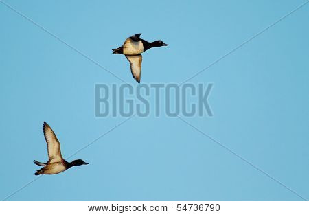 Tufted duck flying