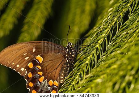 Brown and orange north eastern swallowtail butterfly