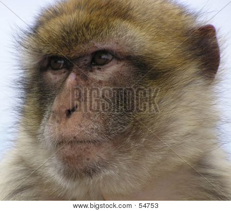 Close Up Monkey Face
