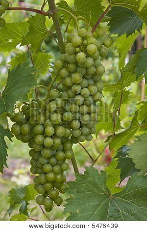 Chardonay Grapes For Wine