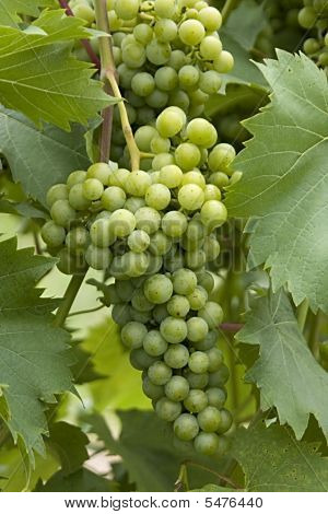 Unripe Cluster Of Green Grapes For Wine
