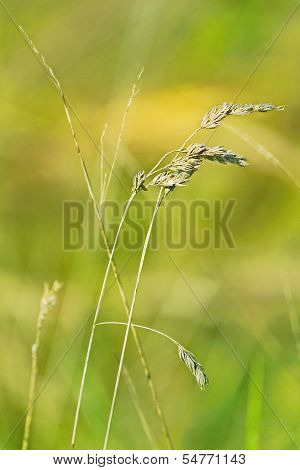 Sprigs of dry wheat in a field