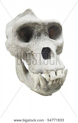 Skull of a primacy