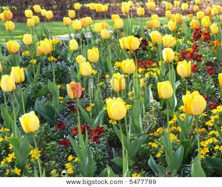 Tulips In Formal Garden Bed