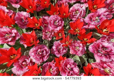 Background With Pink And Red Tulips With Triangular And Jagged Petals, A Photo From The Top, Vertica