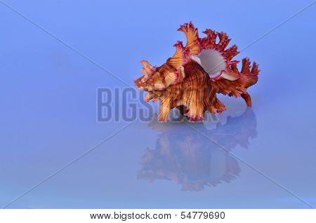 Triton Seashell With Reflection