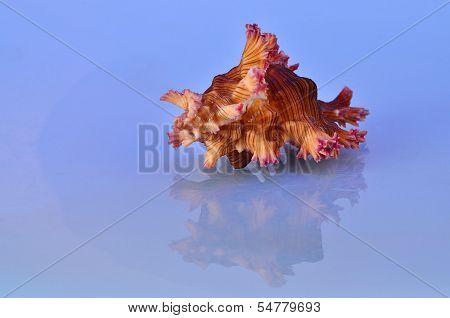 Spiny Triton Seashell