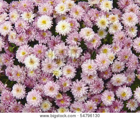 colorful pink chrysanthemumm flowers closeup