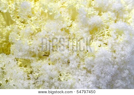Yellow Decorative Cabbage In Crystals Snow