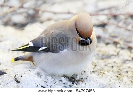 Grey Waxwing With Crest Looking Berries Under The Spring Snow. Shallow Dept-of-field