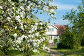 foto of farmhouse  - Blooming apple tree in front of a farmhouse in the swedish countryside island Oeland Sweden - JPG