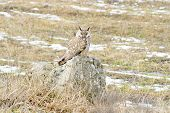 long-eared owl (Asio otus) in natural habitat / Asio otus