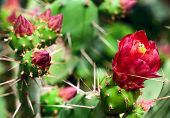 stock photo of prickly pears  - Blooming of a prickly pear Cactus closeup