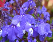 picture of lobelia  - a blue lobelia plant in full flower - JPG