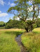 foto of alder-tree  - Common Alder tree by stream - JPG