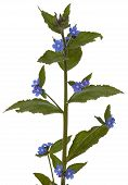stock photo of borage  - Cut - JPG