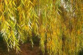 stock photo of weeping willow tree  - Babylonica or Weeping willow Salix is a tree belonging to the Salicaceae family - JPG