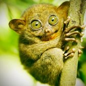 picture of rainforest animal  - Tarsier monkey in natural environment - JPG
