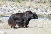 stock photo of mongolian  - Mongolian long-haired mountain bull on the Bank of a mountain river in the spurs of Tibet