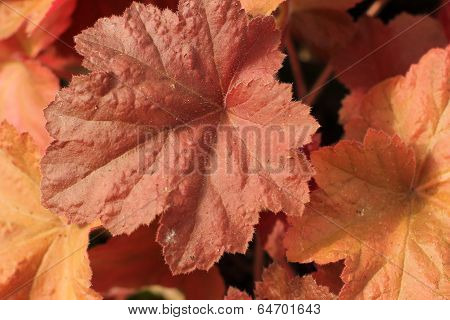 coral colored leaves