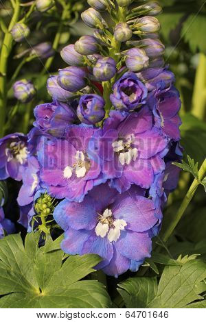 hollyhocks in glistening blue