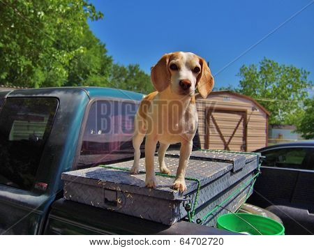 Beagle eager for the hunt