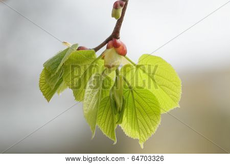 First Spring Linden Tree Leaves